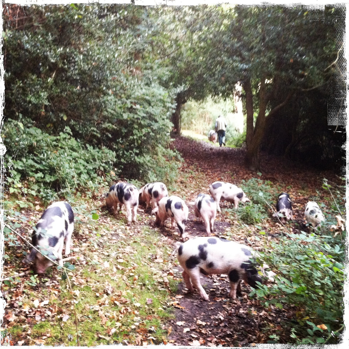 The pigs exploring the forest