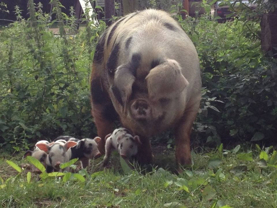 Gertie and her litter